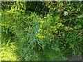 TF0820 : Yellow loosestrife   by Bob Harvey