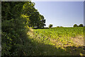 SJ3606 : Hedgerow and arable field by P Gaskell