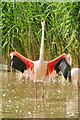 SO7104 : A Greater Flamingo at Flamingo Lagoon by David Dixon