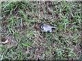 NT2470 : Common Shrew - Sorex araneus by M J Richardson