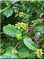 TF0820 : Proto-berries by Bob Harvey