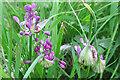 NJ3459 : Keeled Garlic (Allium carinatum) by Anne Burgess