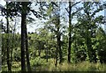 NZ1850 : Regenerating woodland in Langleymoor Plantation by Robert Graham