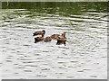 TL9634 : Ducks on the River Stour by Geographer