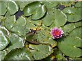 TQ5243 : Water lilies in  Diana's Bath by Philip Halling
