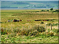 NY0565 : Cattle on Salcot Merse by David Dixon