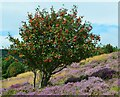 NT3931 : Rowan in the heather, Hangingshaw Rig by Jim Barton