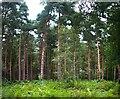 TF0821 : Mature plantation by Bob Harvey