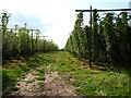 SO7041 : A hop field by Philip Halling