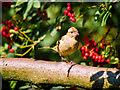 SD4213 : Feeding amongst the berries by David Dixon