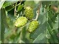 SO8043 : Female alder catkins by Philip Halling