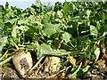 SO8241 : Sugar beet by Philip Halling