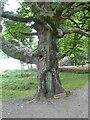 NY1221 : The Goblin Tree by Oliver Dixon
