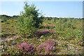 SU5065 : Trees starting on the heathland by Des Blenkinsopp