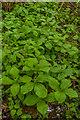 SO3730 : Herb-paris (Paris quadrifolia) by Ian Capper