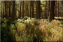 NH9809 : Pines in Glen More by Julian Paren