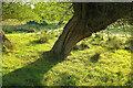 SP1240 : Willow, Weston-sub-Edge by Derek Harper