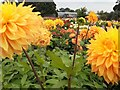 NZ1267 : Dahlia beds, Halls of Heddon by Andrew Curtis
