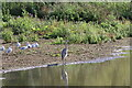SE2336 : Heron Looking Over the Water at Rodley Nature Reserve by David Goodall