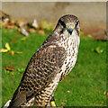 NC8500 : Peregrine Falcon at Dunrobin Castle by David Dixon