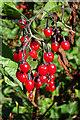 NT2274 : Woody Nightshade (Solanum dulcamara) by Anne Burgess
