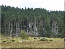 NR9375 : Wind damaged plantation by Thomas Nugent