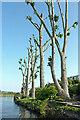 SJ9422 : Hard-pruned poplar trees near Stafford by Roger  Kidd