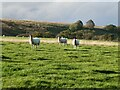 SD7751 : Sheep in field beside Knotts Lane by Oliver Dixon