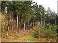 SK6054 : Haywood Oaks, Pine Trees by Peter Kochut
