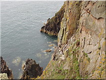 NX1430 : Cliffs by Gallie Craig and Carrick-Kee, Mull of Galloway by David Hawgood
