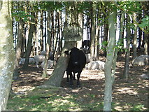 TQ4528 : Friend's Clump of Scots Pines by Nigel Freeman