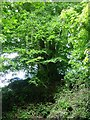 TQ8555 : Beech Tree on Hollingbourne Hill by Penny Mayes