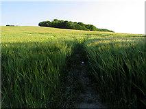 SU2886 : Barley Field and Knighton Hill by Pam Brophy