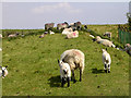 SU7120 : Sheep resting in the shade of the radio mast, Butser Hill by Jim Champion