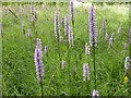 SJ2106 : Common Spotted Orchids in the Daffodil Paddock by Kokai
