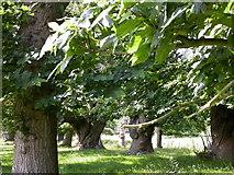 SO4465 : Triple Avenue of Sweet Chestnut Trees by Kokai