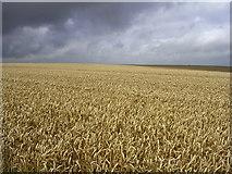 SU1142 : Field of ripe wheat, west of Stonehenge by Jim Champion