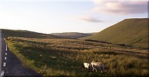 SN9817 : Wandering Sheep - Brecon Beacons by Dee Gull