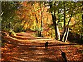 SJ5671 : Autumn Colour, Delamere Forest by David Crocker