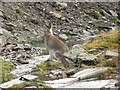 NN8129 : Mountain hare by Rob Burke