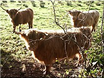 TG1409 : Highland cows, Easton by Katy Walters