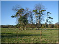NU0411 : Trees in field, Eslington by Kirsty Smith