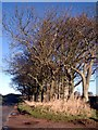 NU0305 : Trees edging the road near Cartington by Kirsty Smith