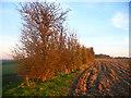 TL0925 : Hedgerow near Warden Hill by Paul Dixon