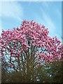 SW4429 : Trewidden Magnolia by John Negus