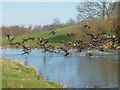 TL0587 : Geese flying off the river Nene. by Ross