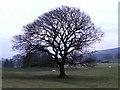 SH5867 : Tree at Tan-y-Foel by Nigel Williams