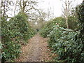 TQ1092 : Rhododendron Walk in Oxhey Woods by David Hawgood