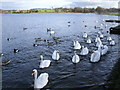 NS6367 : Swan Lake, aka Hogganfield Loch by Chris Upson