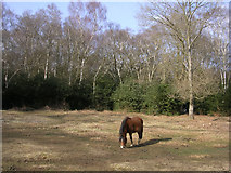 SU3012 : Pony grazing on the edge of woodland, New Forest by Jim Champion